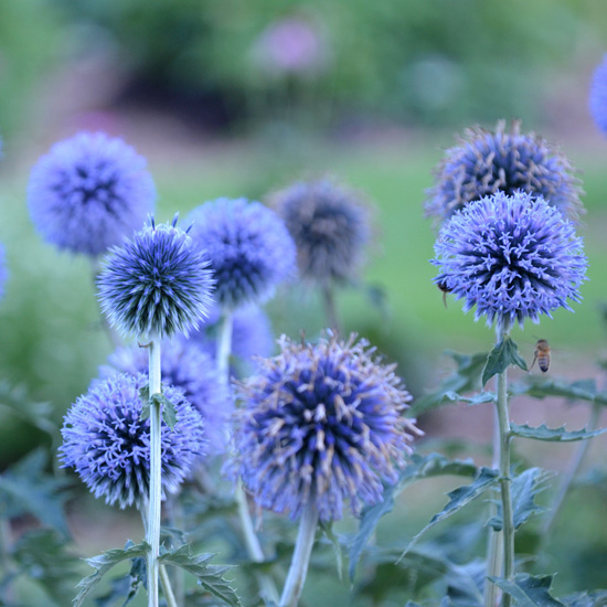 Globe Thistle - Long stemmed (with approximately 3-5 flowers) - Click Image to Close